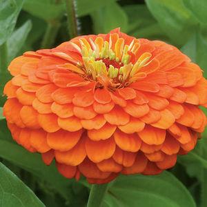Zinnia Benarys Giant Orange