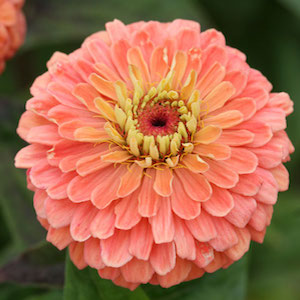 Zinna iBenarys Giant Salmon Rose