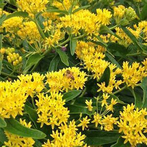 Asclepias Tuberosa  'Hello Yellow'