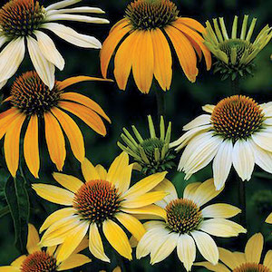 Echinacea 'Mellow Yellows'
