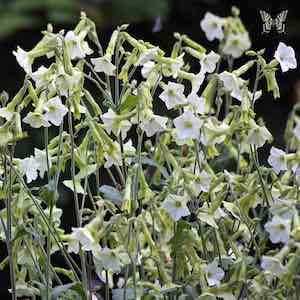 Nicotiana Starlight Dancer
