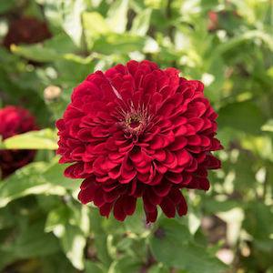 Zinnia Benarys Deep Red
