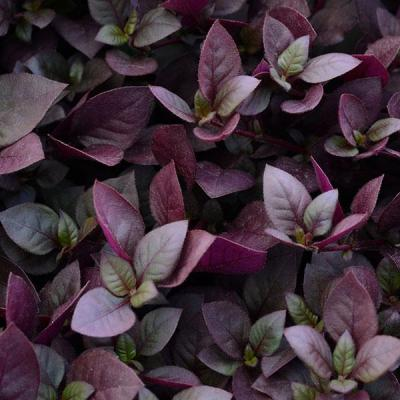 Alternanthera Purple Princ