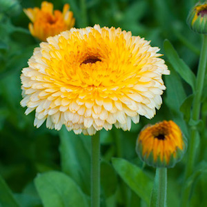 Calendula Pacific Apricot Beauty