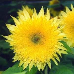 Sunflower Starburst Lemon Aura