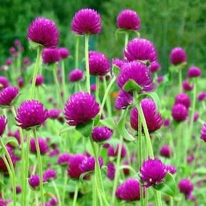 Gomphrena Qis Purple