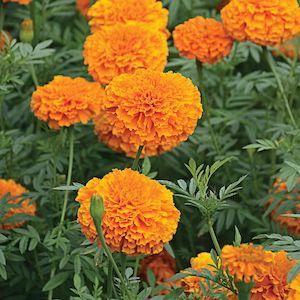 Marigold Giant Orange