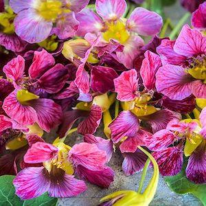Nasturtium Purple Emperor