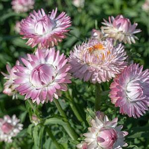 Strawflower Silvery Rose