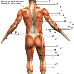 Human Muscles Diagram Labeled Front And Back Leadership Tree Muscular System Posterior View Jen Reviews