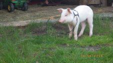 Kulseth gris