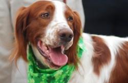 OKC Irish Terrier