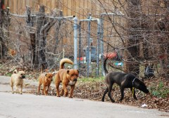 Pack of Stray Dogs in OKC
