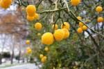 Orange things that look like oranges but aren't. kumkwats?