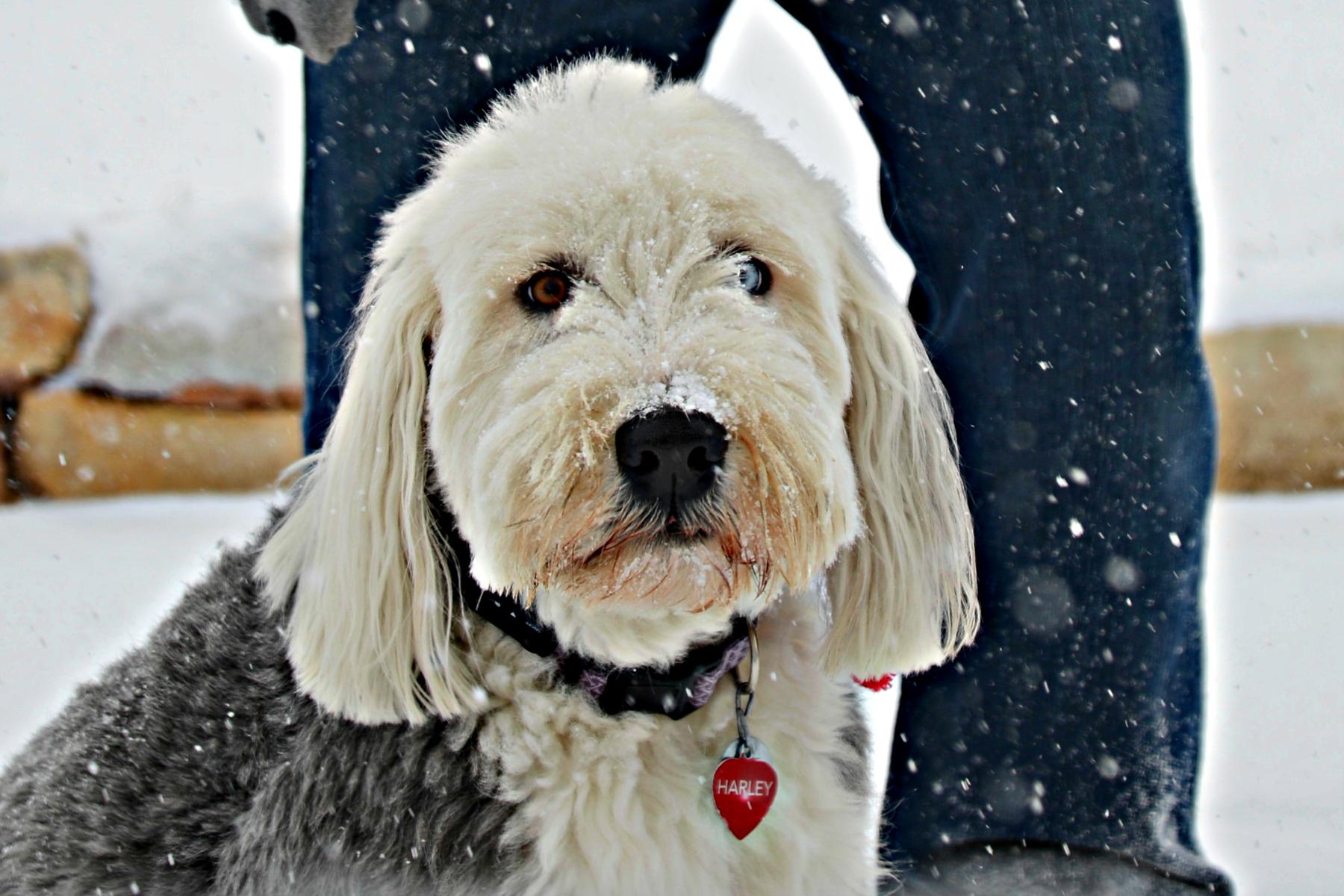 heterochromia dog