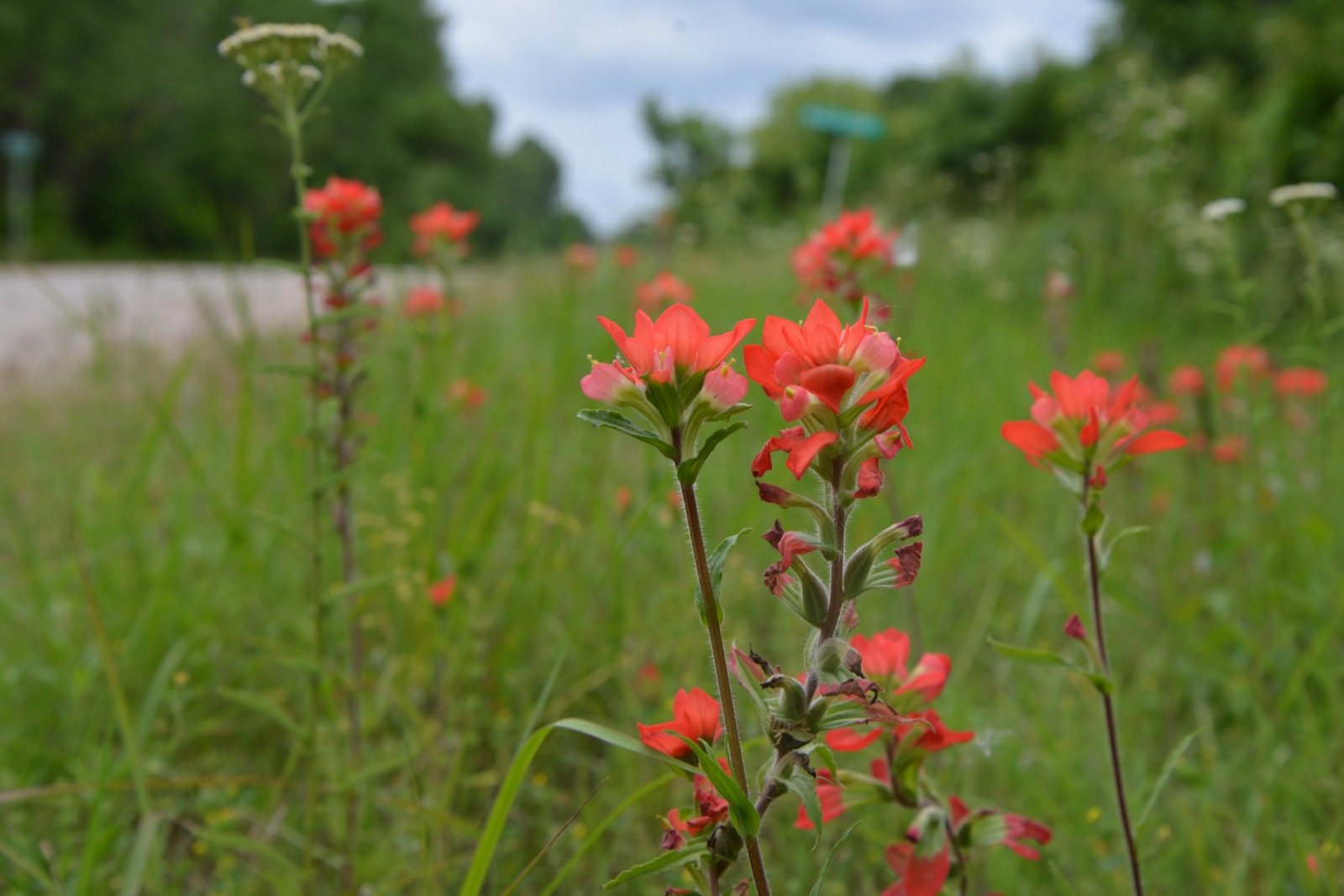 Indian Paintbrush Along a Road