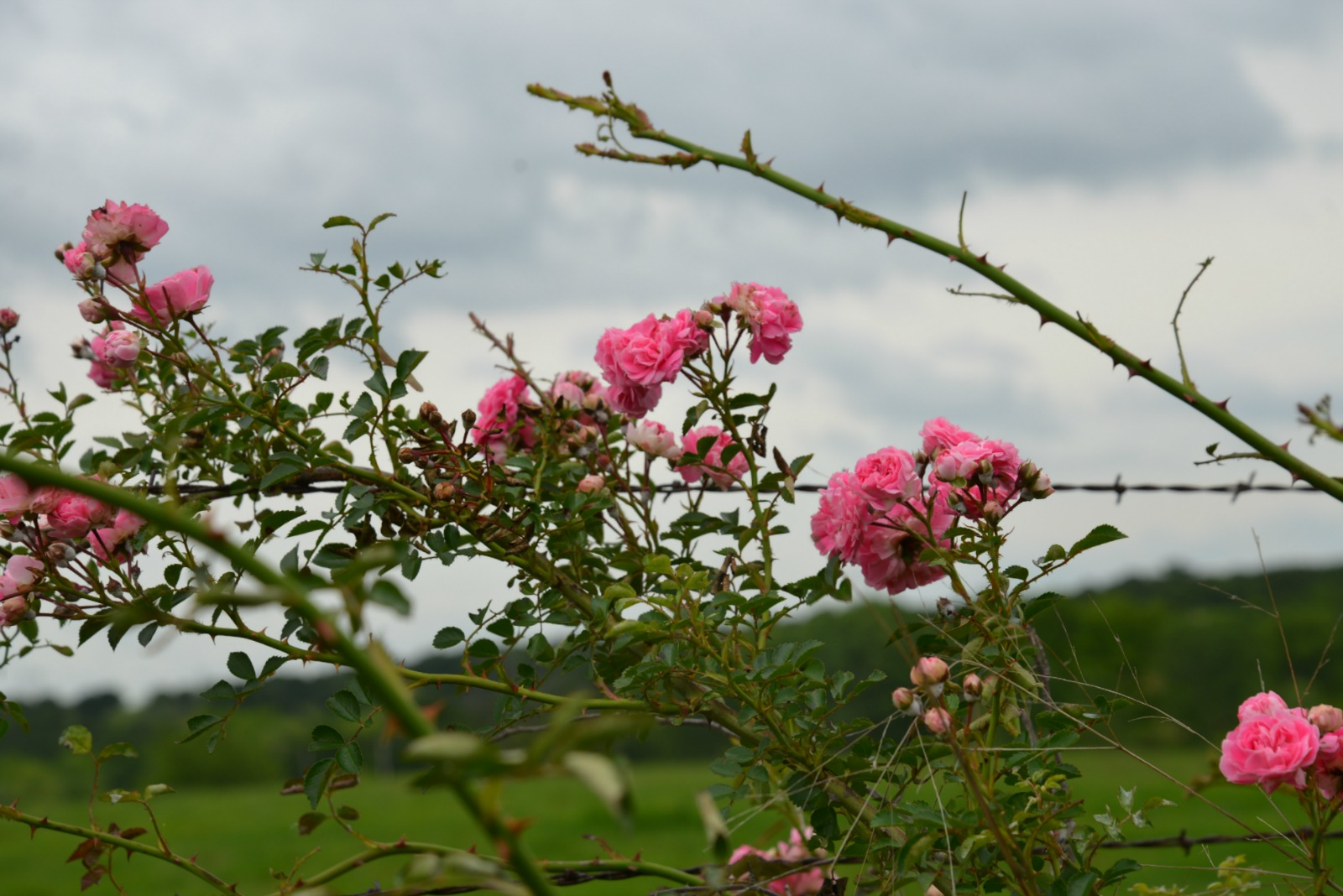Wild Pink Roses On Barbwire Fence