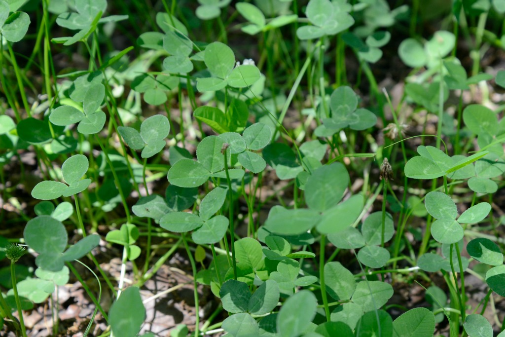 Large Green Clover