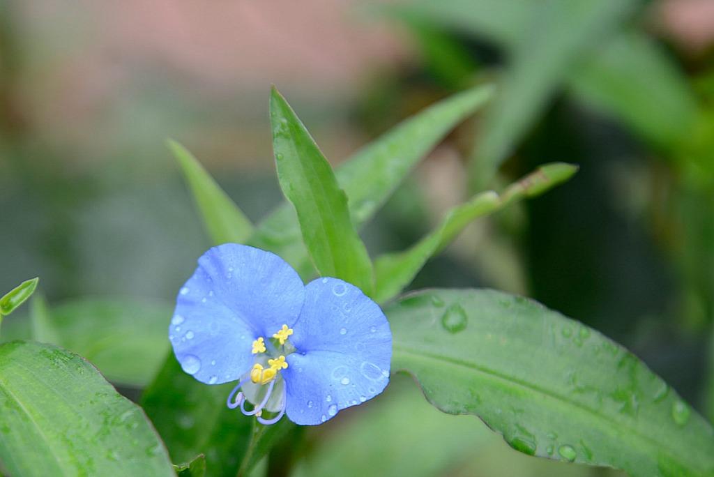 blue flower on wandering jew