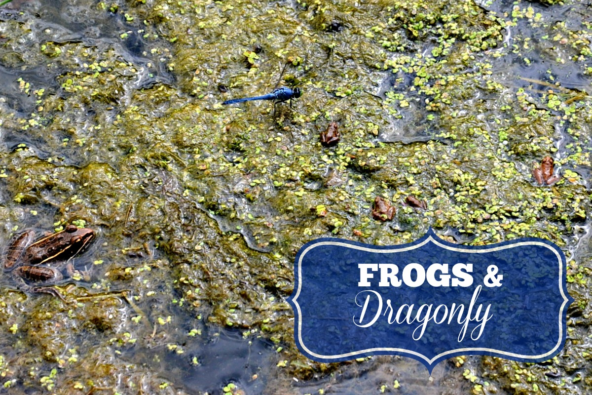 Frogs and Dragonfly Red Rock