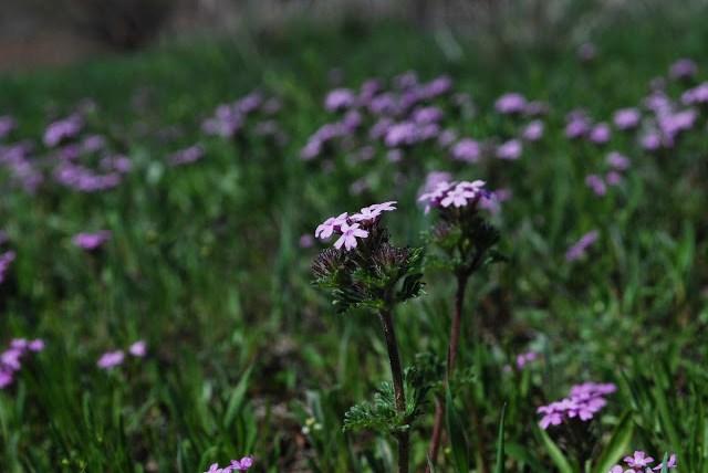 Purple Weeds Wichita Wildlife Refuge, Lawton, Oklahoma