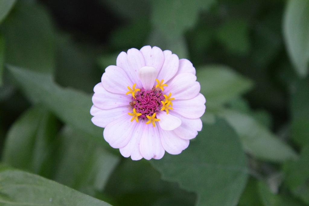 Lavender Zinnia