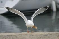 Une mouette attrape un morceau de poisson au vol