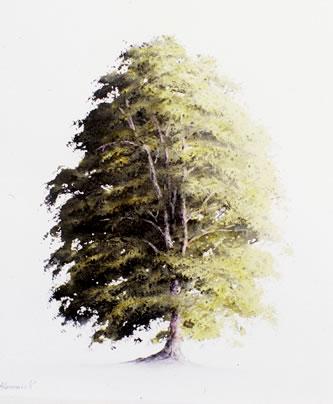beech_tree