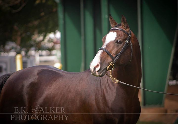 Montego's Thunder Morab Stallion Photo Credit: Walker Photography