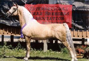 JCW Rev's Cajun Sundancer, Morgan stallion