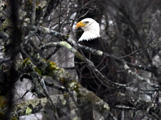 Bald Eagle-Jan19-17