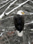 Another Bald Eagle
