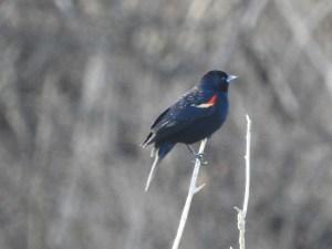 Red-Winged Blackbird - Rayhill Trail February 21, 2018