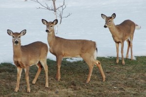Deer-northwestern