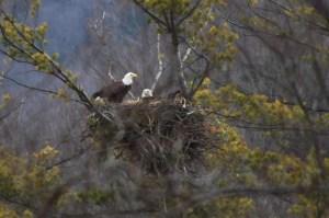Eagles-nest-03-16