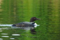 Loon 2 Grass Lake