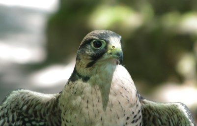 Laner Falcon1