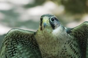 Laner Falcon 2