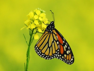 Monarch-Bokah4