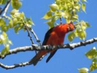 Scarlet Tanager Tilted