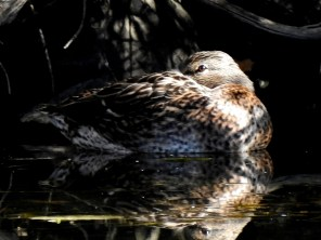 Female -Mallard-oct21-17