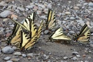 Swallowtails-many