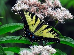 Swallowtail-072918