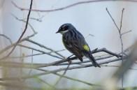 Yellow-Rumped -Warbler-5-2-18