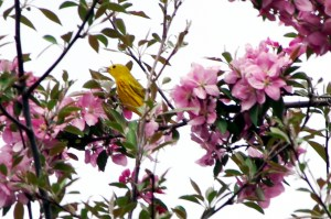 Yellow-warbler-2018
