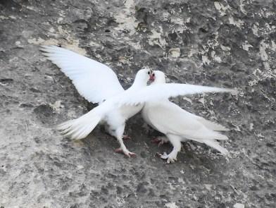 Doves - Malta