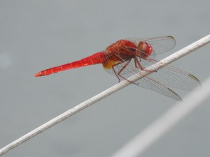 Red-darter-dragonfly
