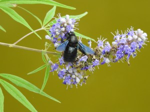 Violet-Carpenter-bee