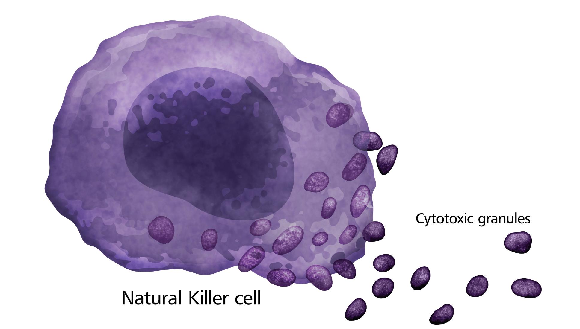 Natural Killer Cell