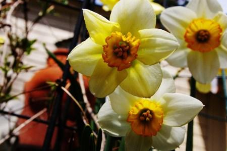 Daffodils ...
